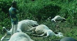 Thunder kills cows in Osun